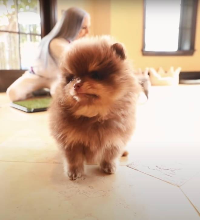 Jeffree Star new puppy Dessert