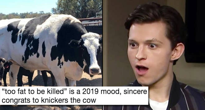 Knickers the cow/Tom Holland shocked